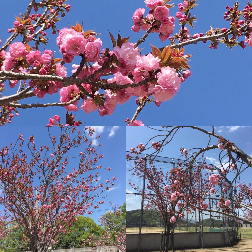 バックネット裏八重桜