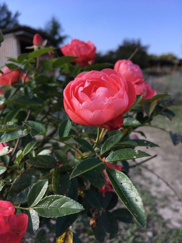 三良坂薔薇