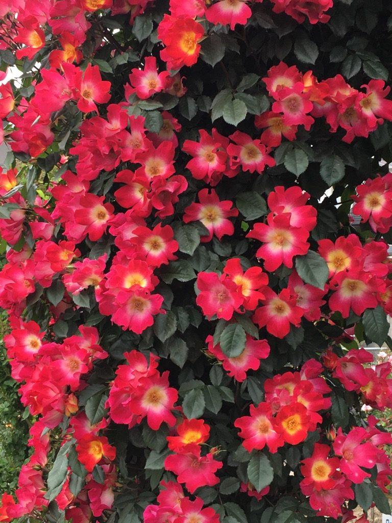 赤いバラのアーチアップ